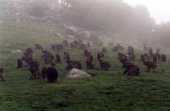 Babouins de Gelada photo libre de droits