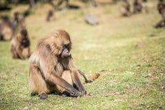 Babouins de Gelada alimentant sur des racines Photographie stock