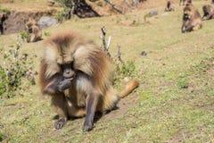 Babouins de Gelada alimentant sur des racines Photo stock