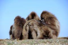 Babouins, Ethiopie Images libres de droits