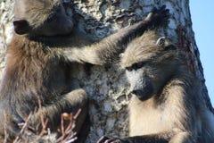 Babouins jouant dans l'arbre Photographie stock libre de droits