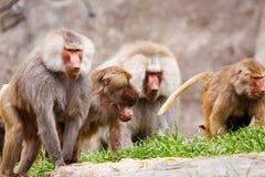Babouins mâles de Hamadryas photographie stock