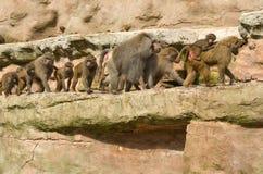 Babouins marchant dans un groupe Photographie stock