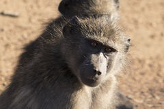 Babouins regardant des spectateurs Photographie stock libre de droits