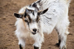 Black and White Kid Goat in barn Stock Images