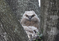 Baby Great Horned owl. Portrait of baby Great Horned Owl in nest Royalty Free Stock Photography
