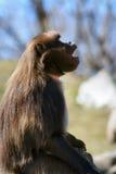 babuíno 1 Fotografia de Stock Royalty Free