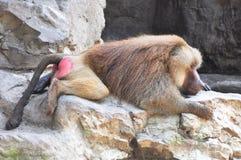 Babuíno Fotografia de Stock Royalty Free