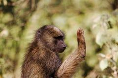 Babuíno Imagem de Stock