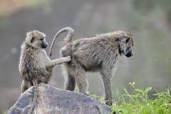 Babuíno Fotografia de Stock