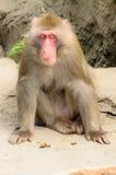 babuíno Foto de Stock Royalty Free