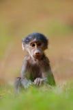 babuíno Foto de Stock