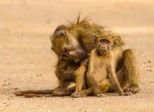 babuíno Imagens de Stock