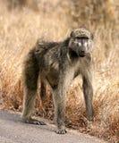 Babuíno africano Fotos de Stock