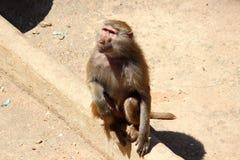 Babuíno da Guiné Fotografia de Stock