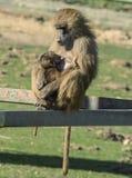 Babuíno da mãe e do bebê Foto de Stock