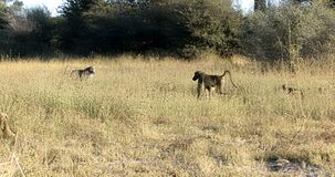 Babuíno de Chacma do macaco, animais selvagens do safari de Namíbia África filme