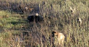 Babuíno de Chacma do macaco, animais selvagens do safari de Namíbia África video estoque