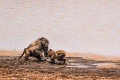 Babuíno de Chacma no parque nacional de Kruger, África do Sul Fotos de Stock