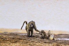 Babuíno de Chacma no parque nacional de Kruger, África do Sul Foto de Stock Royalty Free