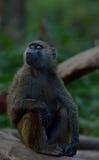 Babuíno do Savanna Imagem de Stock Royalty Free