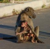 Babuíno em África Fotos de Stock Royalty Free
