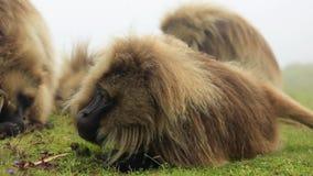 Babuíno em montanhas de Simien, Etiópia de Gelada filme