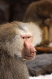 Babuíno masculino que olha o Fotografia de Stock Royalty Free