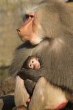 Babuíno masculino que prende seu bebê Fotografia de Stock