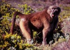 Babuíno masculino solitário de Chamca em fynbos do ponto do cabo Foto de Stock