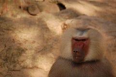 Babuíno mau no jardim zoológico foto de stock royalty free