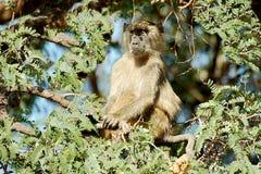 Babuíno na árvore Imagens de Stock Royalty Free