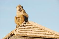 Babuíno na cabana abandonada Imagem de Stock
