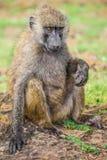 Babuíno novo que descansa no parque nacional de Nakuru (Kenya) Imagem de Stock