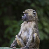 Babuíno - parque nacional de Tarangire - reserva dos animais selvagens em Tanzânia, foto de stock