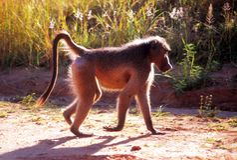 Babuíno que cruza a estrada menor do parque de Kruger Imagens de Stock
