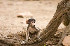 Babuíno que joga em um tronco, Kruger do bebê, África do Sul Fotografia de Stock