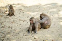 babuínos Imagem de Stock Royalty Free