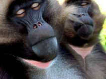 Babuínos Foto de Stock
