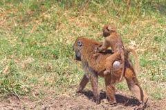 Babuínos da mãe e do bebê Imagem de Stock Royalty Free