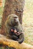 Babuínos da mãe e do bebê Imagens de Stock Royalty Free