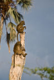 Babuínos de Chacma (ursinus do cynocephalus do Papio) Imagens de Stock