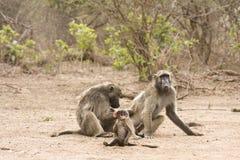 Babuínos do pai, da mãe e do bebê, Kruger, África do Sul Imagens de Stock Royalty Free