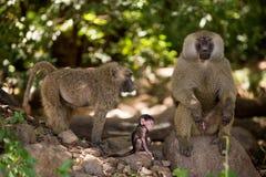 Babuínos e jovens verde-oliva fêmeas Foto de Stock
