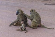 Babuínos e jovens verde-oliva fêmeas Fotografia de Stock Royalty Free