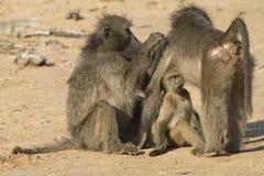 Babuínos e jovens verde-oliva fêmeas Imagem de Stock Royalty Free