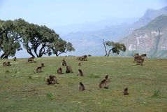 Babuínos, Etiópia Fotografia de Stock