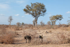 Babuínos no parque nacional de Kruger no amanhecer Fotos de Stock