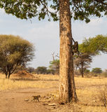 Babuínos que escalam na árvore Imagens de Stock Royalty Free