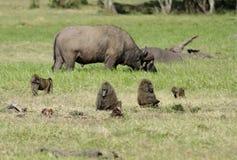 Babuínos selvagens e um búfalo selvagem de pastagem Imagem de Stock Royalty Free